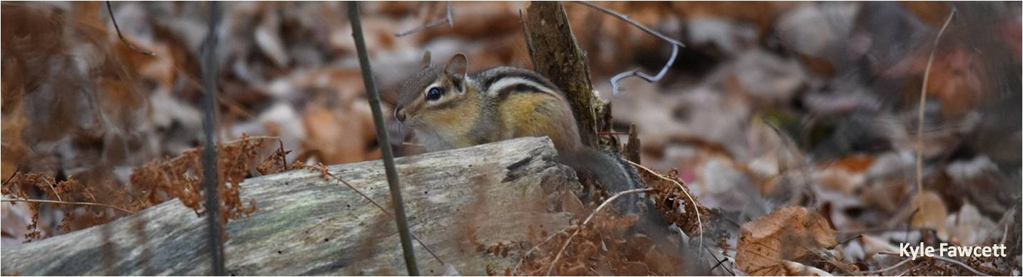 Chipmunk Fawcett2