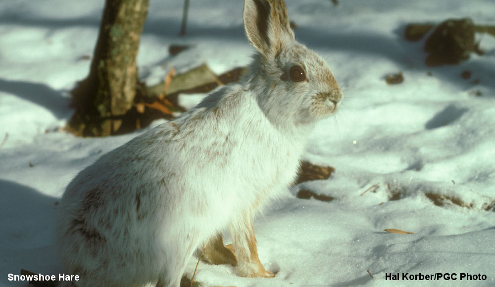 Snow Shoe Hare 001